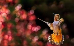 Picture glare, background, bird, Hummingbird, in flight