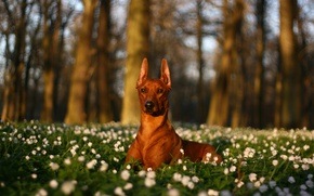 Picture trees, flowers, nature, glade, dog, white, lying