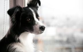 Picture dog, window, looks, border collie, border collie