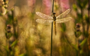 Picture glare, background, Shine, wings, plants, dragonfly, blur, grass