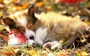 Picture sleep, puppy, Shoes