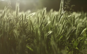 Picture greens, grass, spikelets, weed, landscape. meadow