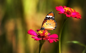 Wallpaper color, Butterfly, flower