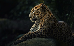 Picture animal, predator, leopard, panthera pardus