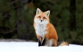 Picture Fox, Fox, snow, forest