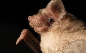 Wallpaper buldogue bats, Mormopterus, nature