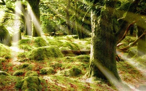 Picture FOREST, STONES, GREENS, LEAVES, LIGHT, MOSS, TREES, RAYS, TRUNKS