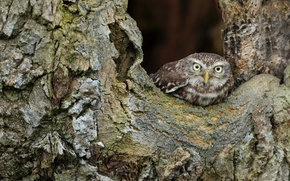 Picture tree, owlet, bird, owl, Peeps, bark