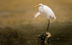 Picture eyes, lake, bird, branch, beak, Heron, wildlife, white Heron