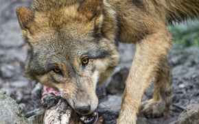 Picture look, face, wolf, ©Tambako The Jaguar