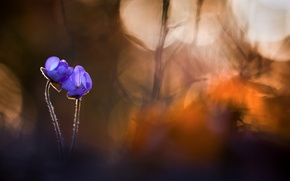 Picture flowers, nature, spring, Hepatica nobilis