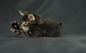 Wallpaper cat, kitty, legs, claws, kitten, maine coon, Funny cat, Maine Coon