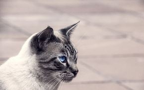 Picture eyes, cat, look, background, Kote