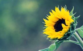 Picture yellow, background, sunflower