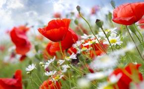 Wallpaper the sky, flowers, stems, Maki, chamomile