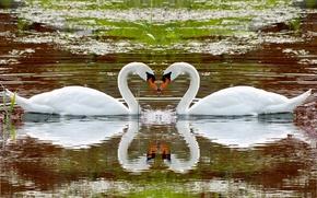 Wallpaper animals, water, lake, reflection, river, swans