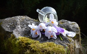 Picture flowers, stone, moss, spring, crocuses, pitcher