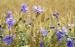Picture wheat, field, summer, flowers, ears, cornflowers