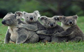 Picture Australian, group, family, marsupial, Koalas