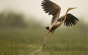 Picture nature, bird, swamp, Heron