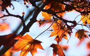 Picture leaves, macro, autumn, light, maple, tree, the sky, branches