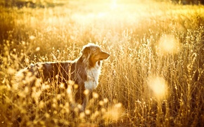 Picture field, light, dog