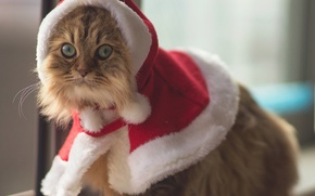 Picture eyes, animal, Cats, costume, Ben Torode, Christmas Cat