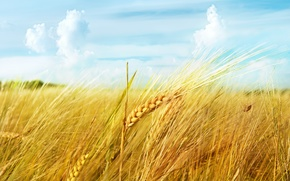 Picture wheat, field, the sky, clouds, macro, ear