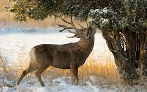 Wallpaper tree, snow, juniper, deer