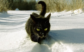 Picture FOREST, BLACK, SNOW, WINTER, CAT