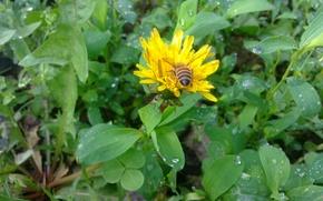 Picture bee, rain, dandelion