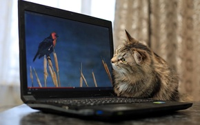 Picture cat, background, laptop