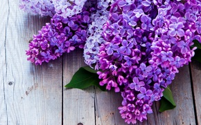 Picture purple, lilac, bunches