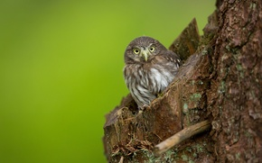 Picture owl, bird, trunk, the hollow, owl