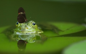 Picture water, butterfly, frog