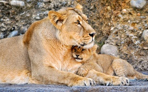 Wallpaper lions, Leo, Cats, baby