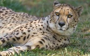 Picture cat, grass, face, Cheetah, ©Tambako The Jaguar