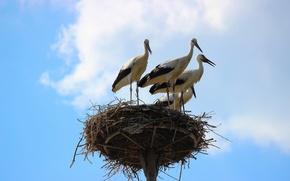 Picture the sky, birds, nature, socket, storks