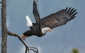Picture tree, bird, wings, the rise, hawk, bald eagle