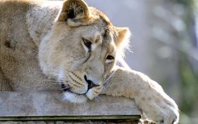 Picture face, Leo, lies, lioness, sad