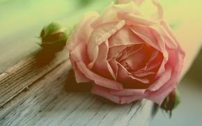 Wallpaper flower, macro, tree, rose, petals, Bud