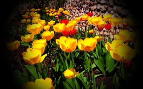 Picture color, Spring, tulips, vignette