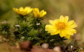 Picture macro, yellow, Adonis, Adonis