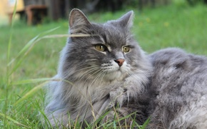 Picture animals, summer, grass, cat, cats, nature
