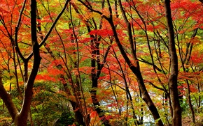 Picture trees, forest, autumn, leaves, the crimson