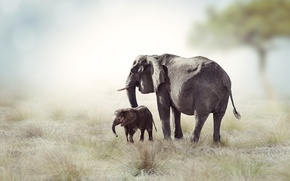 Picture grass, tree, Savannah, Africa, elephants
