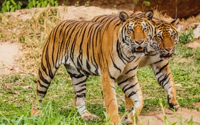 Picture pair, tigers, big cats