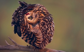 Picture pose, owl, bird, branch