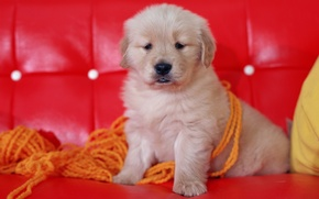 Picture red, sofa, Dog, puppy, thread, yarn, face sitting