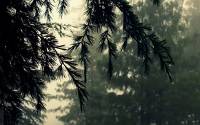 Picture forest, macro, nature, fog, branch, needles, cedar, bad weather, fir